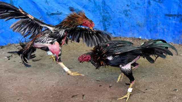 Situs Sabung Ayam Hadirkan Bonus 100 Persen