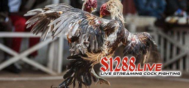 Agen Sabung Ayam S128 Terpercaya Di Indonesia
